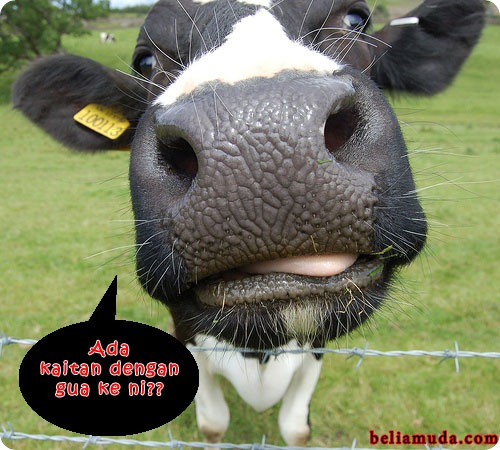 kaitan-dengan-lembu